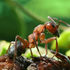 Ukrainian Ants icon