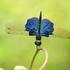 Dragonflies and Damselflies of Hong Kong icon