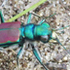 Tiger Beetles of Minnesota icon