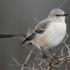 Gray Catbird.Nest Location & Nesting Ecology icon