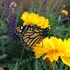 Monarch Butterfly Conservation in Utah icon
