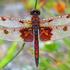 Odonata of the Canadian Maritimes icon