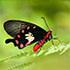 Singapore Butterflies icon