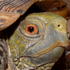 Arizona's Ornate Box Turtle Watch icon