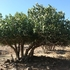 עצי מורשת בגולן Heirlooms\Heritage fruit trees in th golan icon