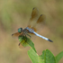 Minnesota Dragonflies and Damselflies icon