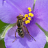 Minnesota Syrphid Flies icon
