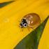 """Ladybird Beetles """"Ladybugs"""" of the Midwest icon"""