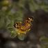 Mariposas Diurnas del Parque Chipinque icon