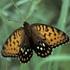 Lepidoptera of Nebraska icon
