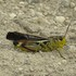 Orthoptera (grasshoppers, locusts and crickets) of France icon