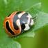 Lady Beetles of Atlantic Canada / Coccinelles des provinces de l'Atlantique icon