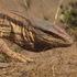 Reptilia and Amphibia of Uzbekistan icon