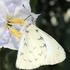 Butterflies of Paraná, Brazil icon