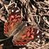 Butterflies of Brazil icon