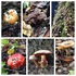 Fungus of the Santa Cruz Mountains icon