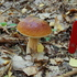 WILD fungi of POLAND - verified icon