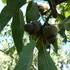 Encinos del noreste de México y sus especies acompañantes icon