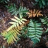 Tasmanian ferns icon