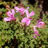Geraniaceae of the Southern Cape and the Littke Karoo of South Africa icon