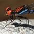 Panamá Odonata icon