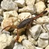 Scorpions of Central America icon
