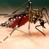 Mosquitoes in Hawai'i icon