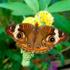 Buckeye Butterflies! icon