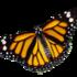 Mariposa Monarca, Danaus plexippus, en Venezuela icon