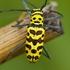 Cerambycidae of Thailand icon