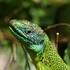 Reptiles de la région Bretagne icon