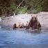Kamchatka Brown Bear  Бурый медведь Камчатки icon