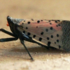 Spotted lanternfly icon