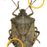 Brown Marmorated Stink Bug icon