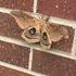 Nebraska Lepidoptera icon