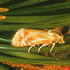 Rhyacionia buoliana (European pine shoot moth) icon