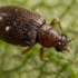 Cortinicara gibbosa (minute brown scavenger beetle) icon