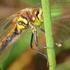 Manitoba Odonata icon