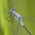 New Brunswick Odonata icon