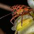 Hemiptera do Parque Natural da Arrábida icon