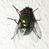 FLIES - Diptera of Southern Africa icon