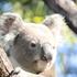TFW Community Koala Sightings icon