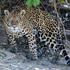 Jaguar (Panthera onca) icon
