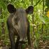 Baird's Tapir (Tapirus bairdii) icon