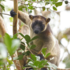 Australian tree-kangaroo sightings icon