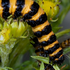 Biocontrol of weeds in NZ icon