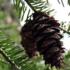 Galiano Tree Find icon