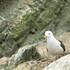 Aves de la Reserva Nacional Sistema de Islas, Islotes y Puntas Guaneras-Sernanp - Perú icon