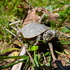 Western Painted Turtle, Vancouver Island icon