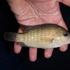 Especies en cuerpos de agua dulce del estado de sinaloa icon